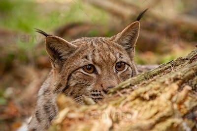 Eurasian lynx hidden behind fallen tree peeking out