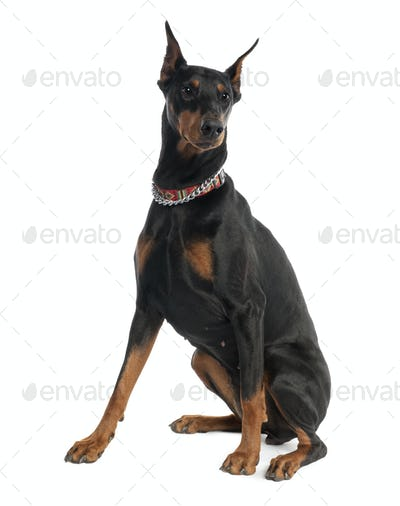 Doberman Pinscher (5 years old)