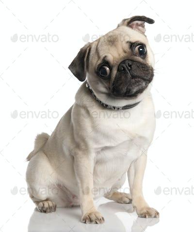 pug (18 months old)