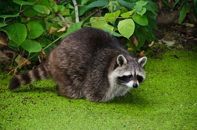 Racoon, Procyon lotor