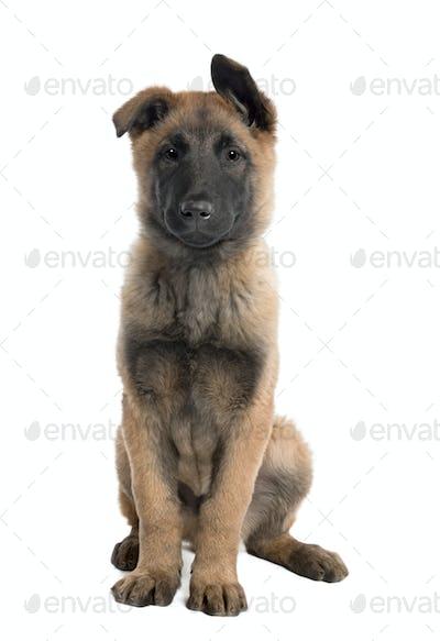 Puppy Belgian Tervuren (3 months)