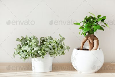 houseplants fittonia and ficus microcarpa ginseng in white flowe