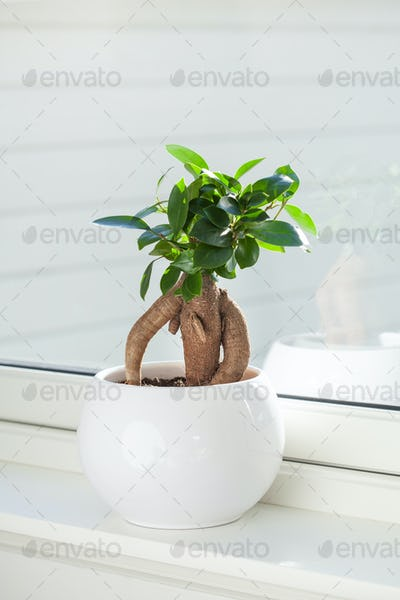houseplant ficus microcarpa ginseng in white flowerpot
