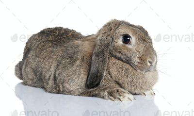 Lop rabbit (4years old)