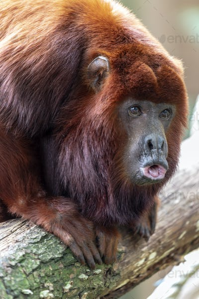 Red Howler Monkey, close up shot
