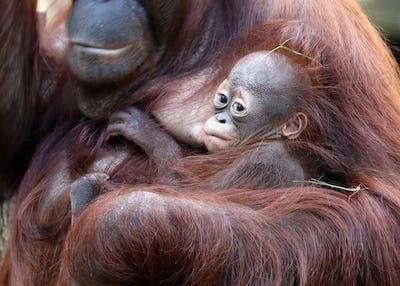 Orangutan mother with baby