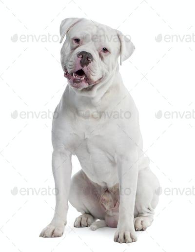 old english Bulldog (2 years old)