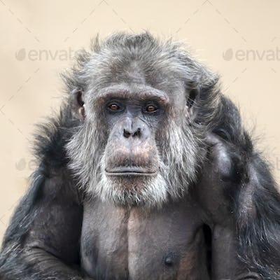 Adult Chimpanzee portrait