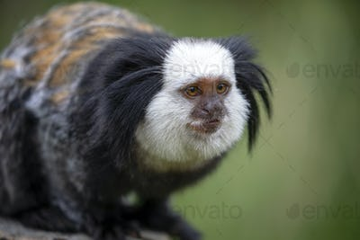 close-up view of cute callithrix geoffroyi monkey
