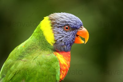 close-up view of beautiful rainbow lorikeet parrot in zoo