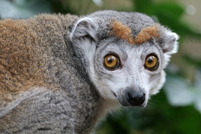 portrait of cute crowned lemur in natural habitat