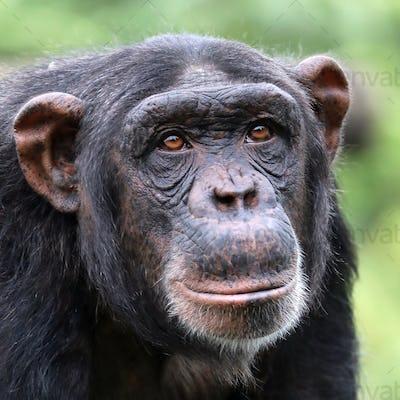 Chimpanzee close-up portrait