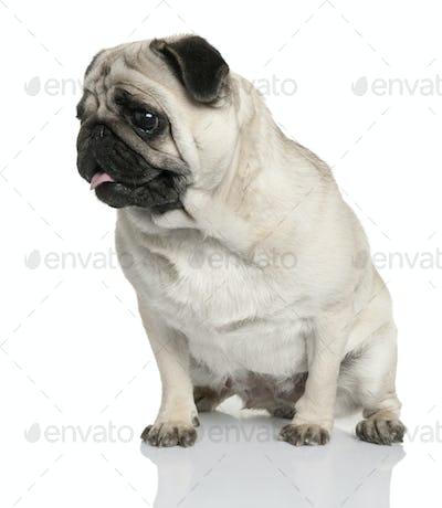 pug (2 years old)