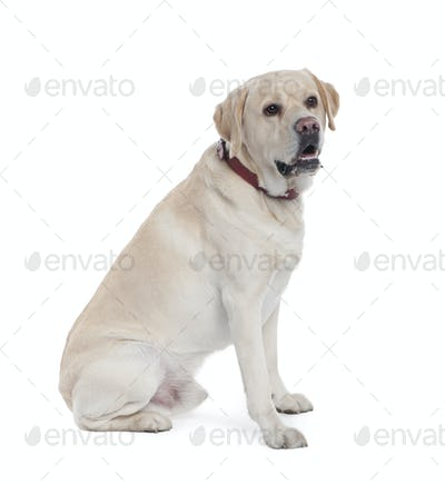 Labrador (5 years old)