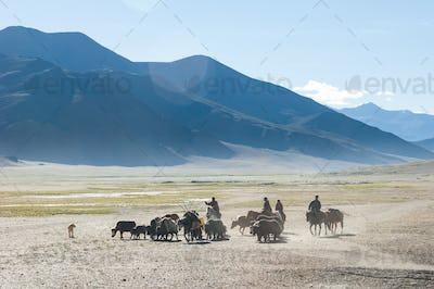 Tibetan nomads travelling with hourses and yaks. Ladakh highland
