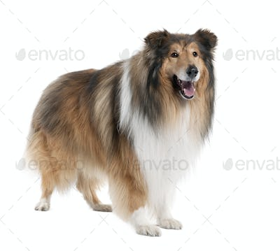 Collie (4 years old)