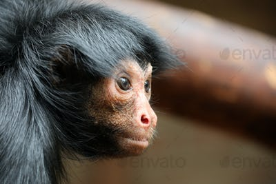 Red Faced Spider Monkey