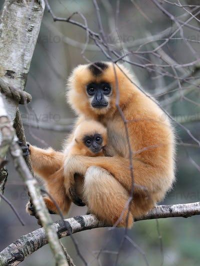 yellow cheeked gibbon