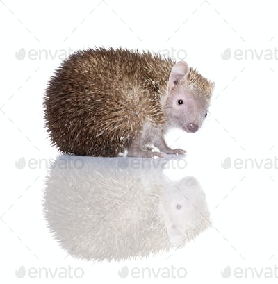 Portrait of Lesser Hedgehog Tenrec, Echinops telfairi, in front of white background