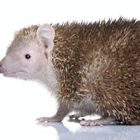 Lesser Hedgehog Tenrec - Echinops telfairi