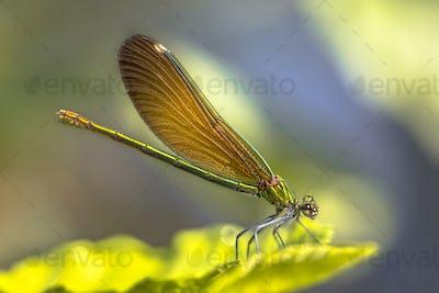 Copper demoiselle female dragonfly