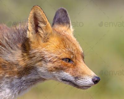 Red Fox Alert portrait