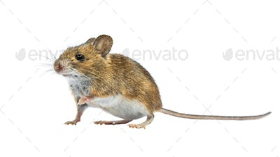 Cute mouse isolated on white background