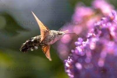 Hummingbird hawk moth butterfly