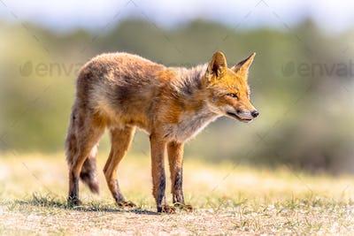 Red Fox in bright natural habitat