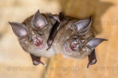 Two Greater horseshoe bat