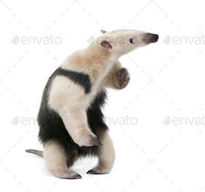 Collared Anteater, Tamandua tetradactyla, standing in front of white background, studio shot