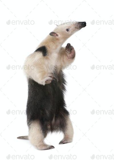 Collared Anteater - Tamandua tetradactyla