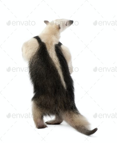 Rear view of Collared Anteater, Tamandua tetradactyla, standing in front of white background