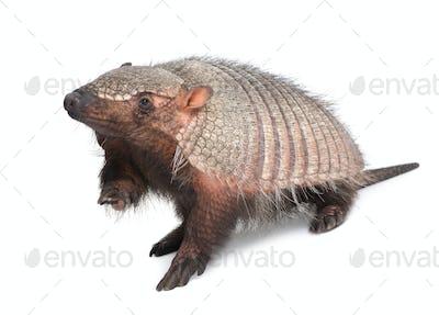 Armadillo - Dasypodidae - Cingulata