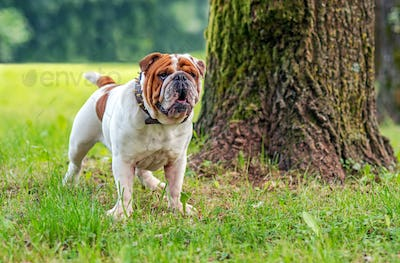 Young english bulldog, standing in a grass and looking into the distance