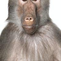 Close-up on a Baboon's head -  Simia hamadryas