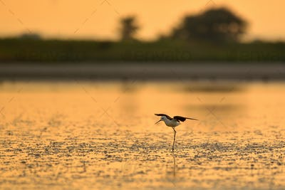 The black-winged stilt ( Himantopus himantopus ) on the sunset lake