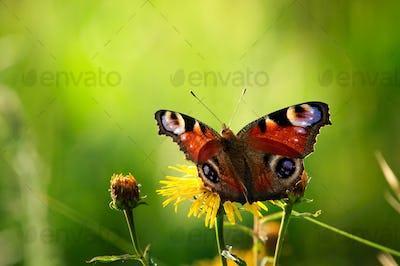 European peacock butterfly on wildflower