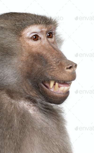 Close-up on a Baboon's head -  Simia hamadryas