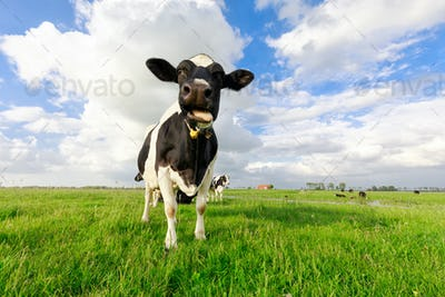 funny cow chewing grass on pasture
