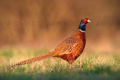 Common pheasant, phasianus colchicus, male cock with clear blurred background