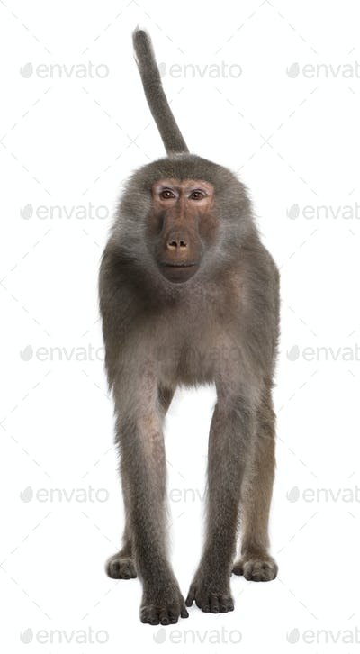 Portrait of Baboon, Simia hamadryas, standing in front of white background, studio shot