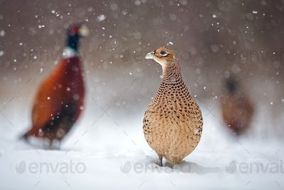Three common pheasants, Phasianus colchicus. in winter during snowfall