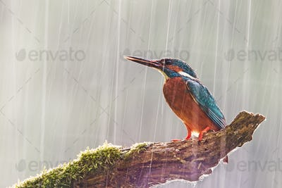 Male common kingfisher in heavy rain with sun shining from behind