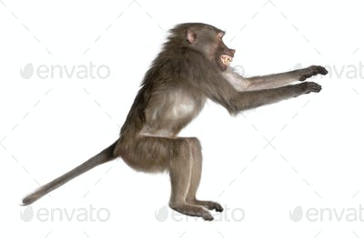 side view of a Baboon jumping -  Simia hamadryas