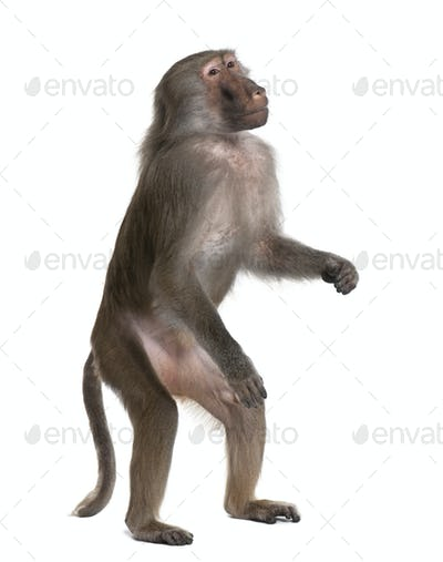 Baboon standing up -  Simia hamadryas
