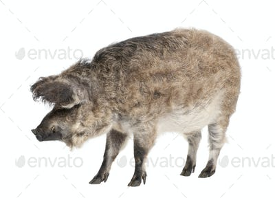 Mangalitsa or curly-hair hog