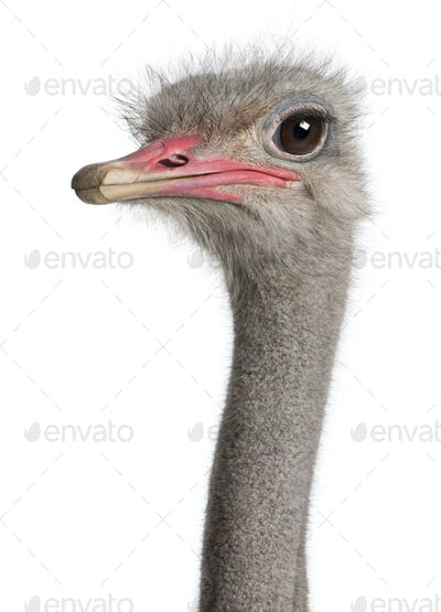 close-up on a ostrich's head