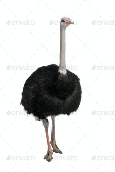male ostrich - Struthio camelus