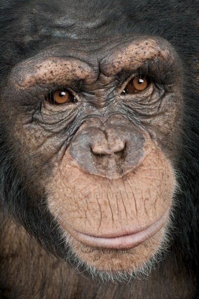 Close-up on a head of a Young Chimpanzee - Simia troglodytes (5 years old)